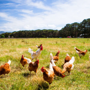 Backyard Chickens with Joseph Heckman, PhD