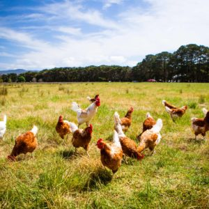 Small-Scale Poultry with Joseph Heckman, PhD