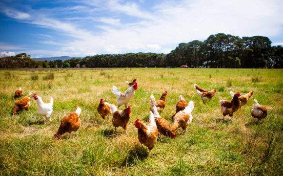 USDA abandons animal welfare rule in organic program