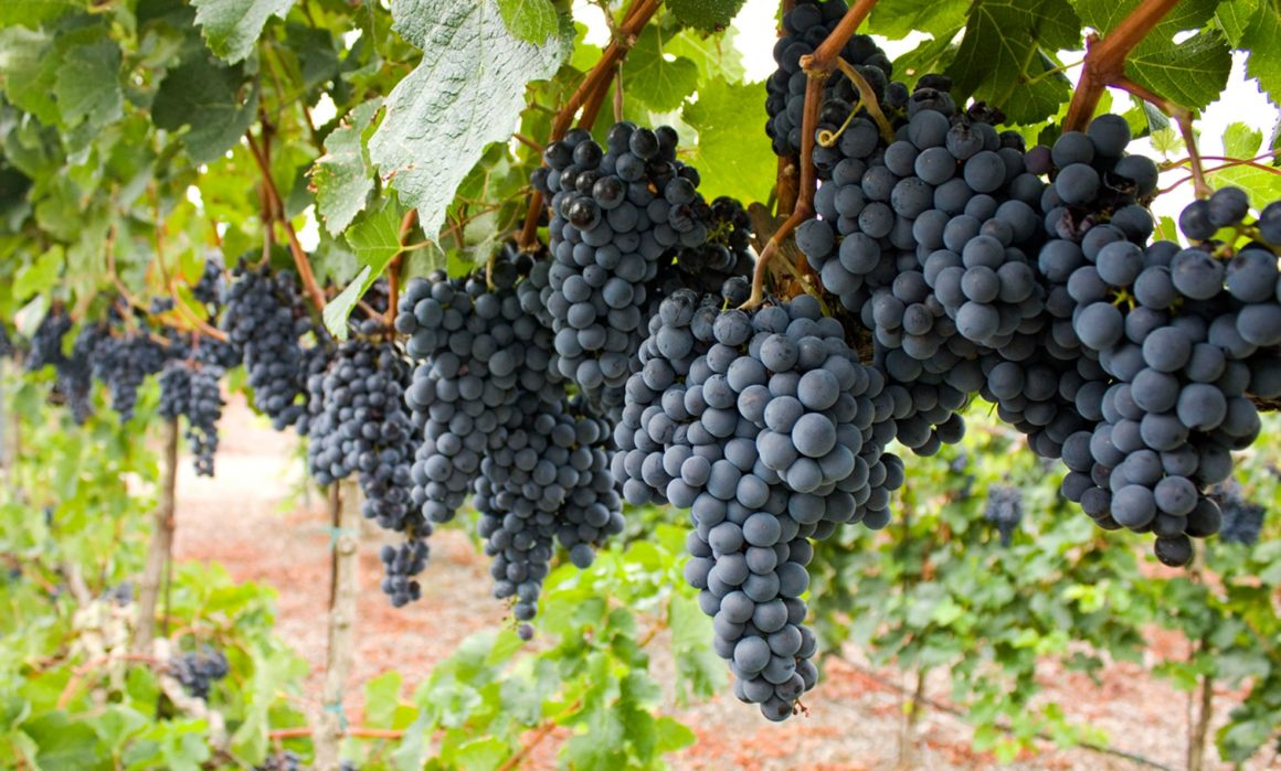 Growing the NJ Wine Industry