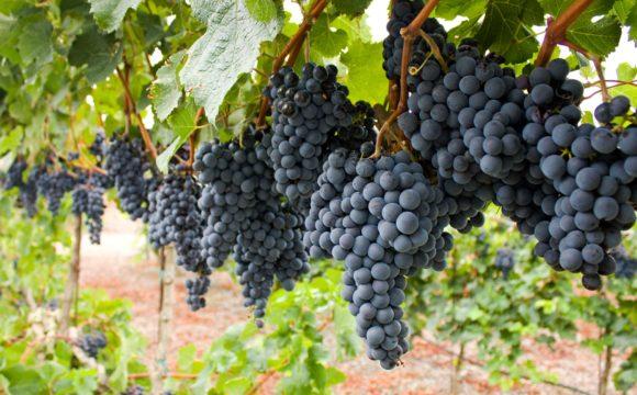 Growing the NJ Wine Industry