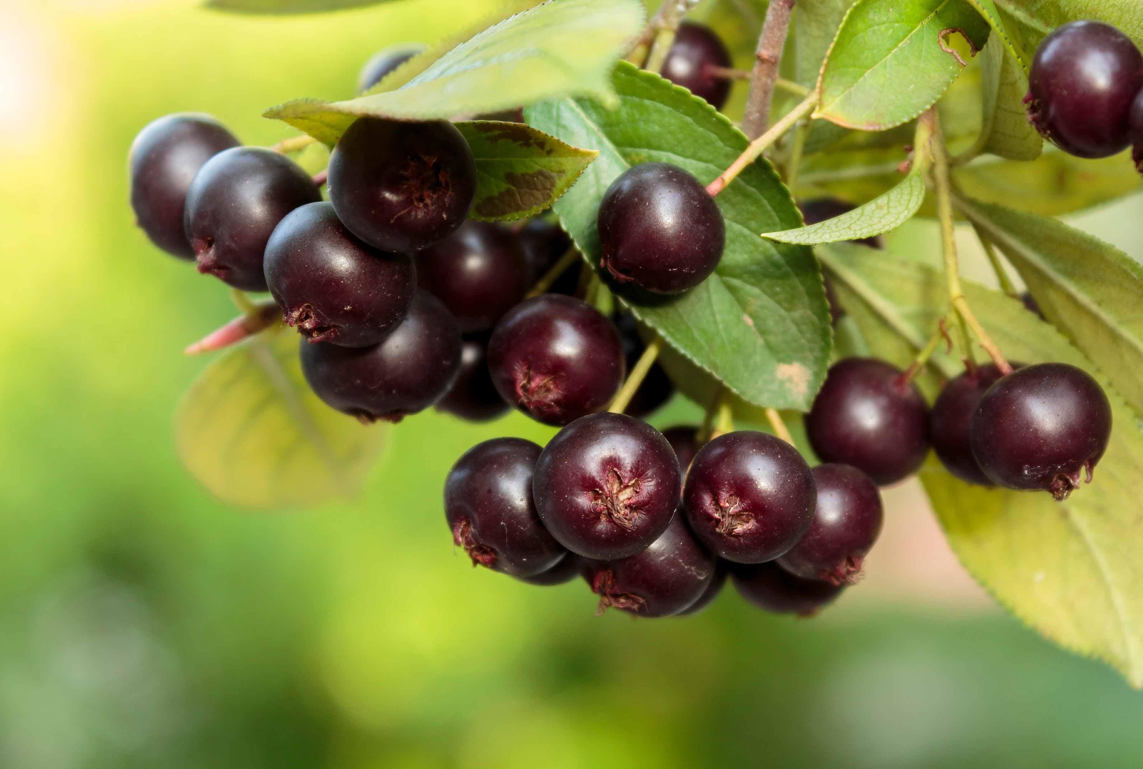 Growing Berries on the Suburban Farm