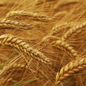 Sequencing of Wheat Genome Complete