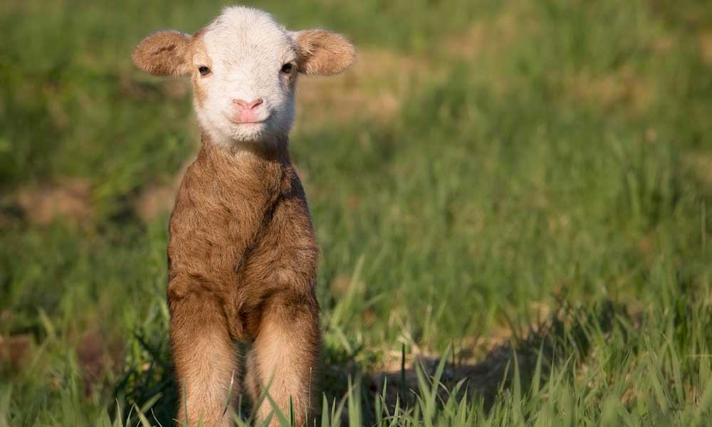 Managing High Tannin Forages for Organic Sheep Production