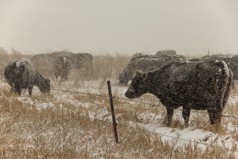 The Economics of Grazing an Organic Winter Cover Crop