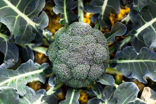 Brassicas - In-Depth