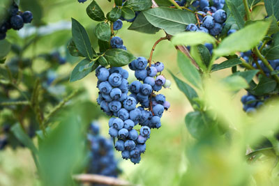 Blueberry Soil Health