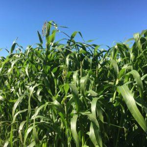 Webinar: Cover Crops, Sunn Hemp and Sorghum Sudan