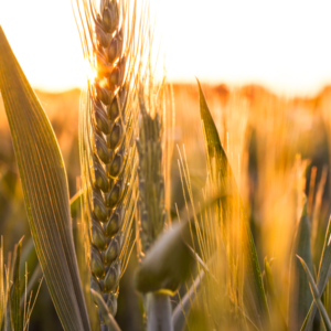 Enhance Farm Profitability with Value-Added Grains