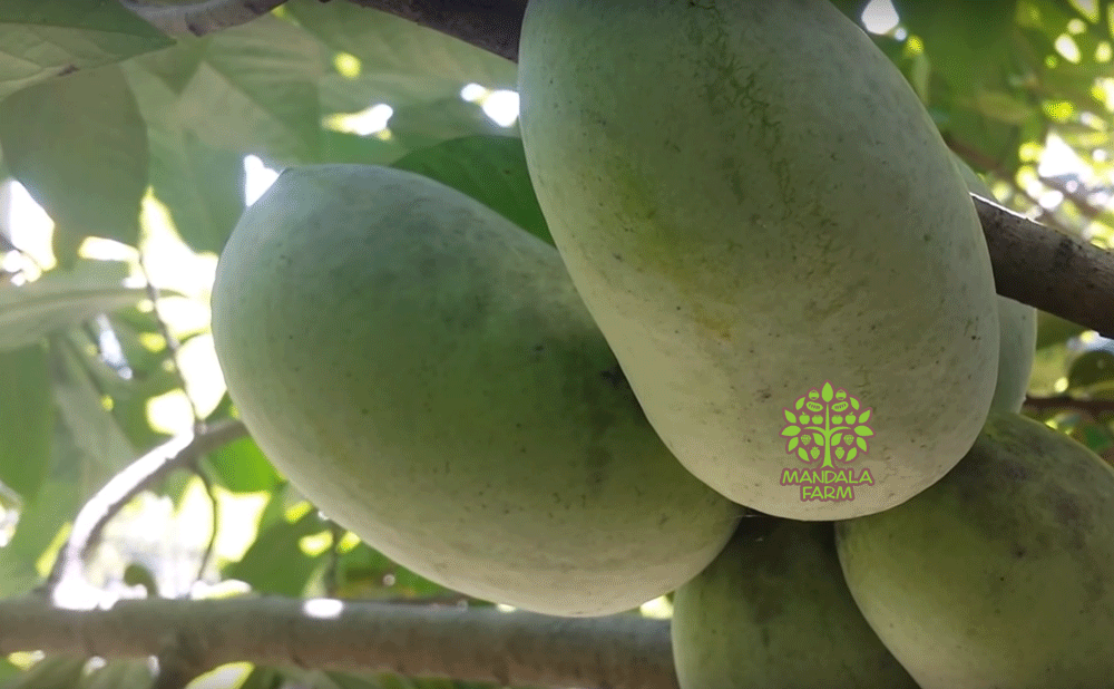 New Jersey Pawpaws